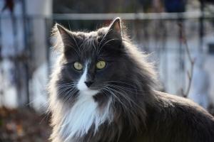 Katze mit langen Haaren