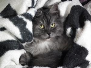 Zugedeckte Katze